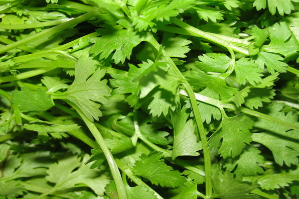 Coriander for forehead whitehead
